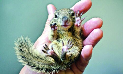 Caring for baby squirrels